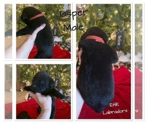 Labrador Retriever Puppy for sale in HARTVILLE, MO, USA