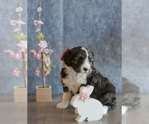 Australian Shepherd-Poodle (Miniature) Mix Puppy for sale in MONTROSE, CO, USA