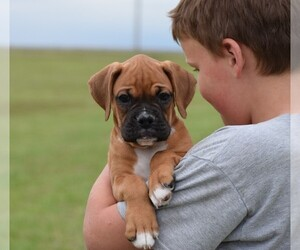 Boxer Puppy for Sale in HUMBOLDT, Nebraska USA