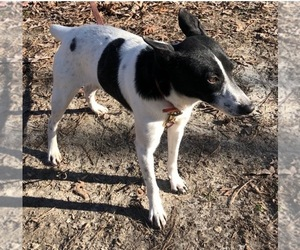 Rat Terrier Puppy for Sale in EMIT, North Carolina USA