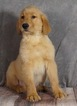 Golden Retriever Puppy For Sale near 46580, Warsaw, IN, USA