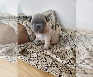 French Bulldog Puppy for Sale in HUMBOLDT, South Dakota USA