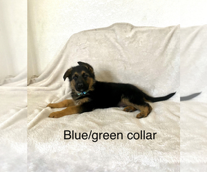 German Shepherd Dog Puppy for sale in SACRAMENTO, CA, USA