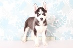 Siberian Husky Puppy For Sale in NAPLES, FL, USA
