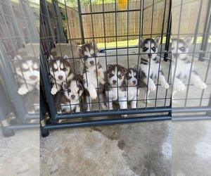 Siberian Husky Puppy for sale in MARYVILLE, TN, USA