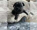 Puppy 1 Frenchie Pug