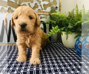 Goldendoodle-Poodle (Toy) Mix Puppy for sale in HERRIMAN, UT, USA
