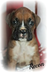 Boxer Puppy For Sale in CLAYTON, NJ, USA