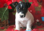 Jack Russell Terrier Puppy For Sale in MOUNT JOY, PA, USA