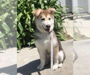 German Shepherd Dog-Siberian Husky Mix Puppy for sale in NAVAL BASE VENTURA COUNTY, CA, USA
