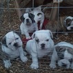 Bulldog Puppy For Sale in GRIZZLY FLATS, CA, USA