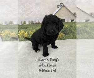 Goldendoodle Puppy for sale in DEWITT, VA, USA