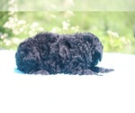 Small #26 Poodle (Standard)