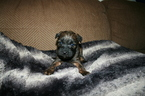 Soft Coated Wheaten Terrier Puppy Dot