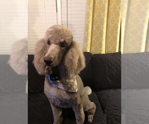 Father of the Labradoodle puppies born on 11/12/2020