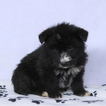 Shepadoodle Puppy For Sale in GAP, PA, USA