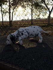 Dalmatian Puppy For Sale in HEADLAND, AL, USA