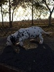 Dalmatian Puppy For Sale in HEADLAND, AL, USA
