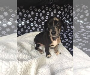 Dachshund Puppy for sale in PALATKA, FL, USA