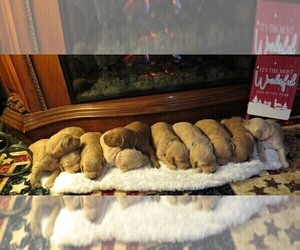 Goldendoodle Puppy for Sale in PERRYSVILLE, Ohio USA