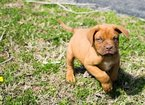 Dogue de Bordeaux Puppy For Sale in LEBANON, TN, USA