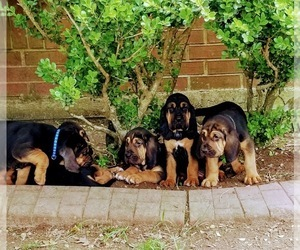 Bloodhound Puppy for sale in ANGLETON, TX, USA