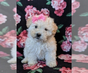 Maltipoo Puppy for sale in QUARRYVILLE, PA, USA