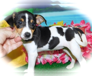 American Rat Pinscher Puppy for Sale in HAMMOND, Indiana USA