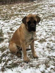 Father of the Mastiff puppies born on 11/17/2018