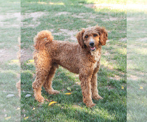 Father of the Goldendoodle puppies born on 03/16/2021
