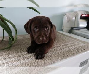 Labrador Retriever Puppy for sale in OSHKOSH, WI, USA