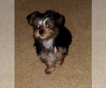 Small #1 Morkie