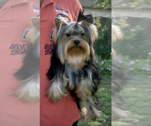 Yorkshire Terrier Puppy for sale in Kyiv, Kyiv City, Ukraine