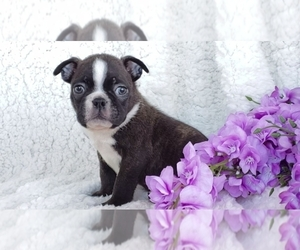 Boston Terrier Puppy for Sale in SUGARCREEK, Ohio USA