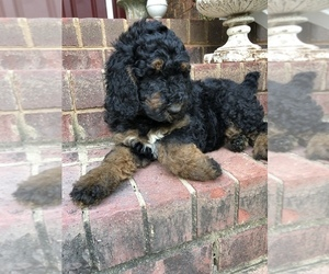 View Ad: Poodle (Standard) Puppy for Sale near North