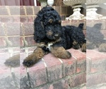 Poodle (Standard) Puppy For Sale in CONCORD, NC, USA