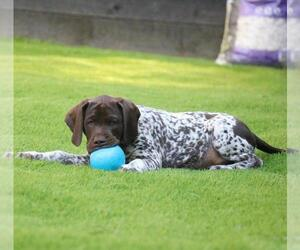 German Shorthaired Pointer Puppy for sale in SAINT LOUIS, MO, USA