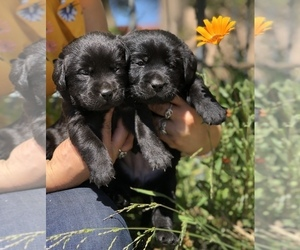 Labrador Retriever Puppy for Sale in MORENO VALLEY, California USA