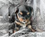 Puppy 0 Yorkshire Terrier