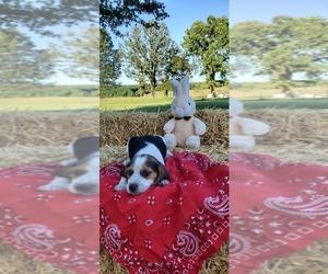 Beagle Puppy for sale in LEBANON, MO, USA