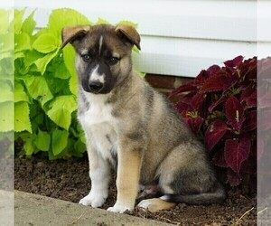 German Shepherd Dog-Siberian Husky Mix Puppy for sale in FREDERICKSBG, OH, USA