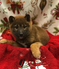 Shiba Inu Puppy For Sale in PLANTSVILLE, CT
