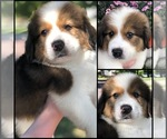 Puppy 8 Great Bernese
