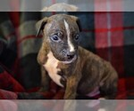 Puppy 2 American Pit Bull Terrier-Belgian Malinois Mix