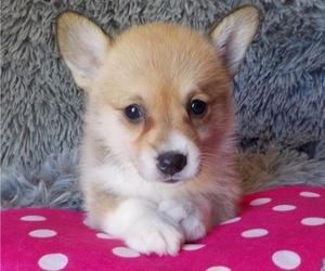 Pembroke Welsh Corgi Puppy for sale in MANSFIELD, MO, USA
