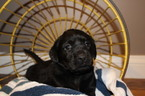 Labrador Retriever Puppy For Sale in MOHNTON, PA