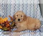 Small #1 Golden Retriever