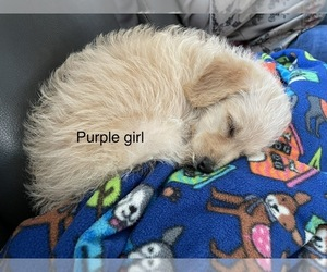 Double Doodle Puppy for sale in SALISBURY, NC, USA