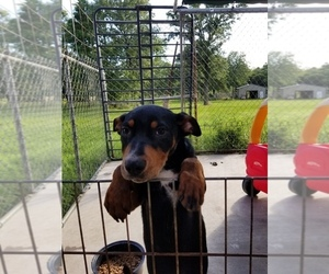 Doberman Pinscher-Unknown Mix Dogs for adoption in TRINIDAD, TX, USA