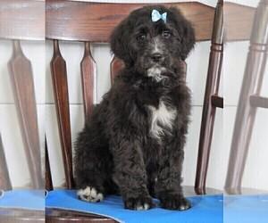 Bernedoodle Dog for Adoption in FREDERICKSBG, Ohio USA